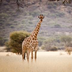 Namibia giraffe
