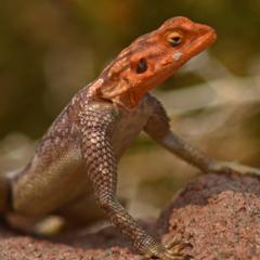 Namibia lizard