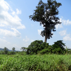 Ghana countryside and big tree