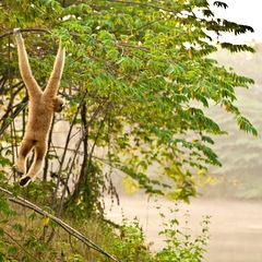 Thailand gibbon island