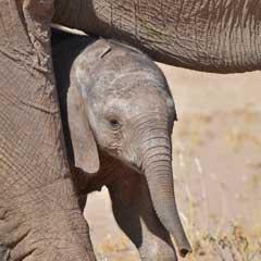 baby desert elephant