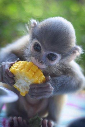 Piak the monkey