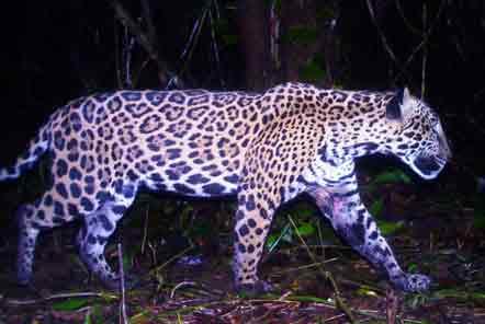 Jaguar on camera trap