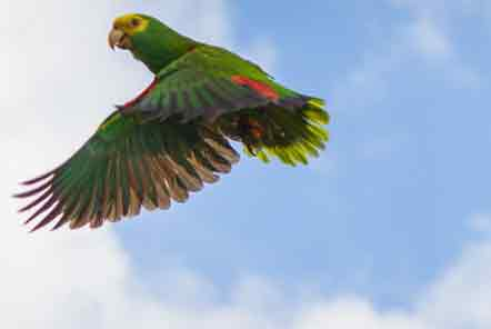 Releasing a yellow headed parrot