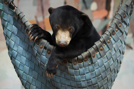 A bear relaxes in a hammock
