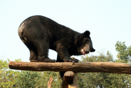 Bear climbing in outside enclosure