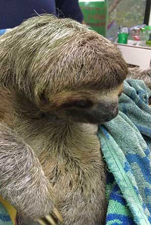 Rescued Sloth in Costa Rica