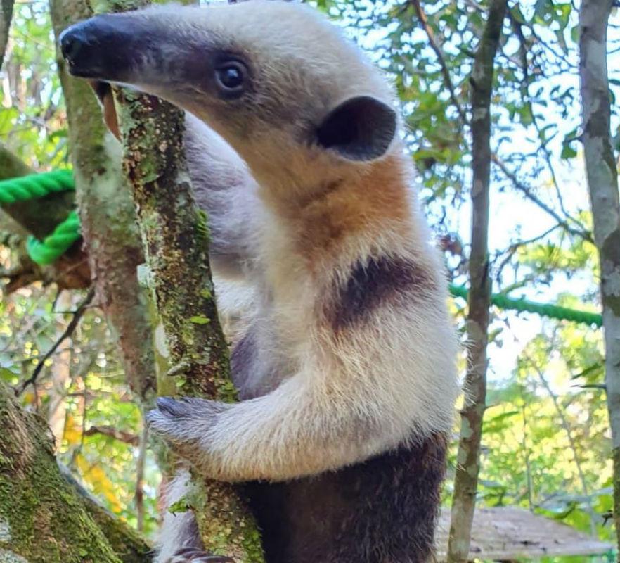 Young anteater learning to climb low-hanging trees