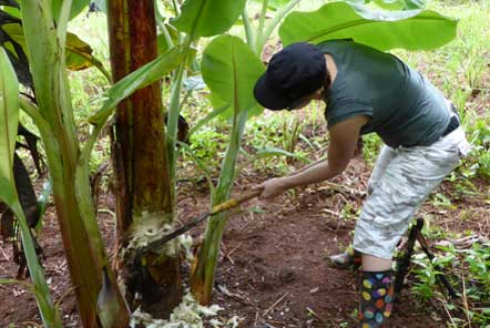 Cutting banana trees