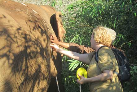 Carrying out health checks on elephants