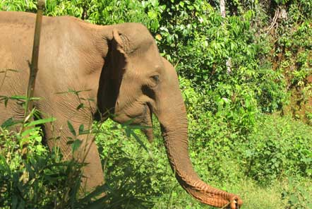 Freely roaming elephant