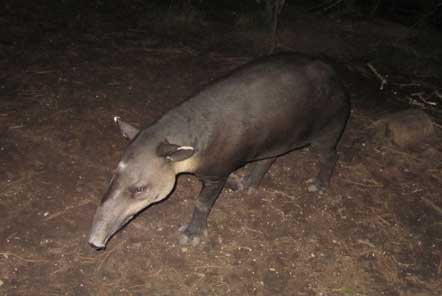 Tapir on night tour