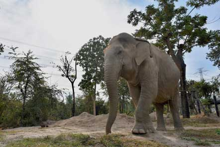 Newly rescued elephant from an elephant camp