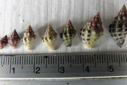 Variation of sizes found in Koh Tao