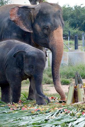 Elephants enjoying the fruity treats