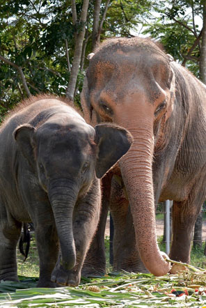 Pin and Pun at the Elephant Care sanctuary in Thailand