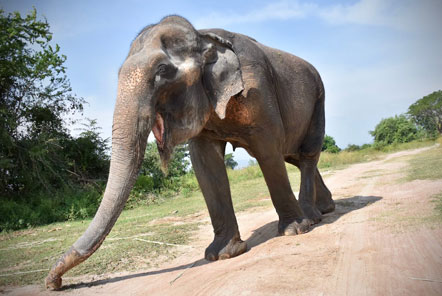 Malai Gun - a new elephant in the herd