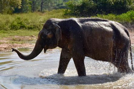Malai Gun enjoying a mud bath