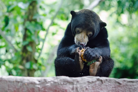 Volunteer with bears in Thailand
