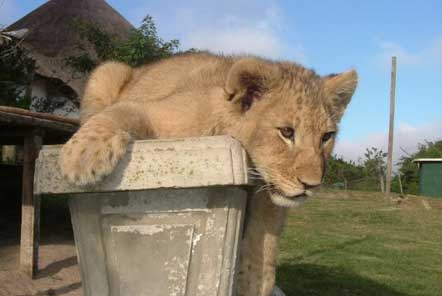 Why does Pod Volunteer not offer opportunities to volunteer with lion cubs?