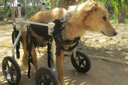 Paralysed dogs are able to run with the help of wheels