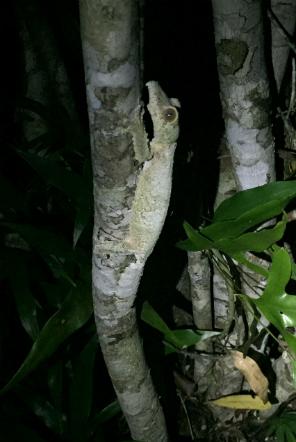 Tree-leafed gecko Madagascar