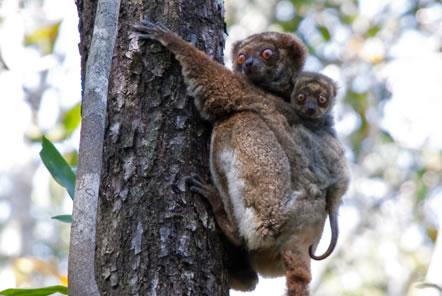 Madagascar Conservation Lemur