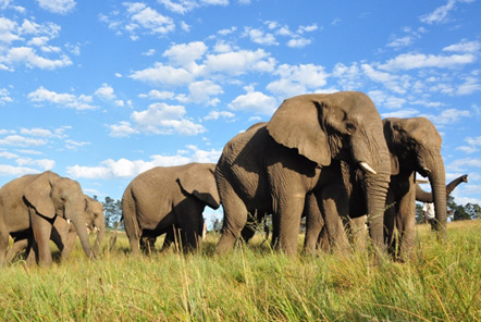 African elephants are at risk from poaching
