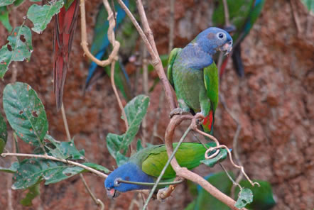 Rare parrots at our jungle conservation project