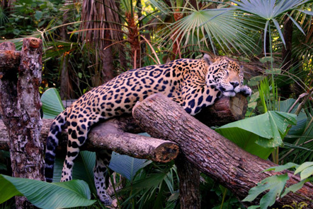 Sleeping jaguar
