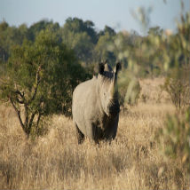 How can we help to save the rhino?