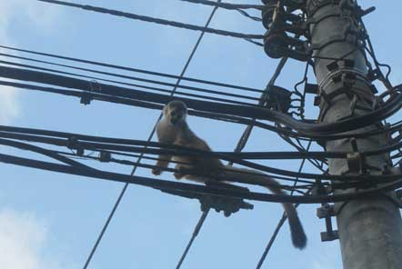 Monkey on electrical wires