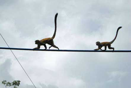 Monkeys using rope bridges
