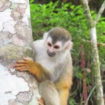 Rope bridges helping to save monkeys