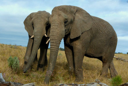 Calling all elephant lovers – our African elephants need your help!