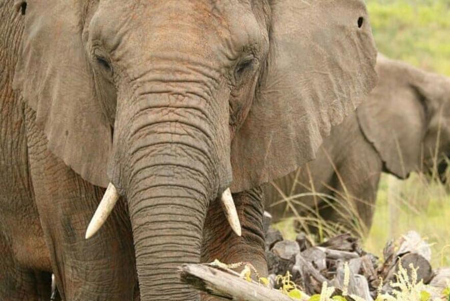 What do elephants do during lockdown?