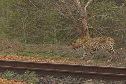 Leopard in Kruger Conservation Park South Africa