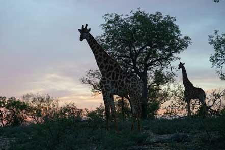 Giraffes in Kruger Conservation Park South Africa