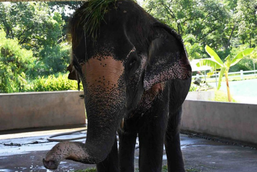Newly rescued elephant at our sanctuary in Thailand