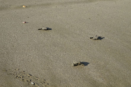 Hatchlings released into the ocean