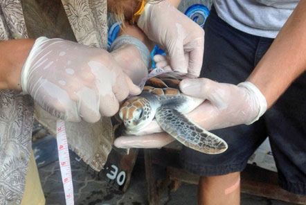 Volunteer measure a turtles growth