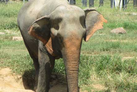 Elephant at sanctuary in Thailand