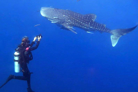 Whale Sharks in Koh Tao