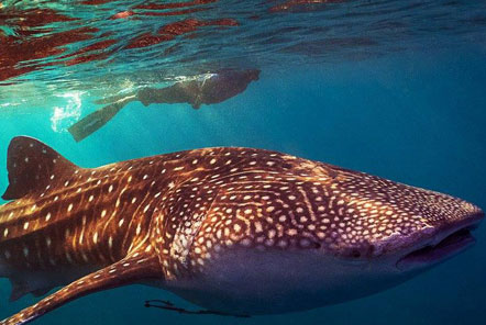 Snorkelling alongside the whale shark