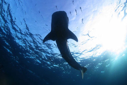 Whale shark calmly swims overhead