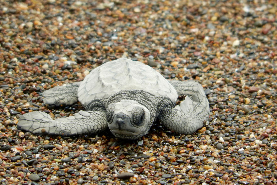 Olive Ridley turtle on beach