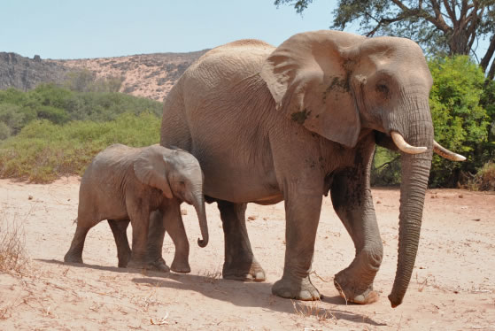 The special desert elephants of Namibia