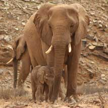 Desert Elephants and Conservation Builds in Namibia