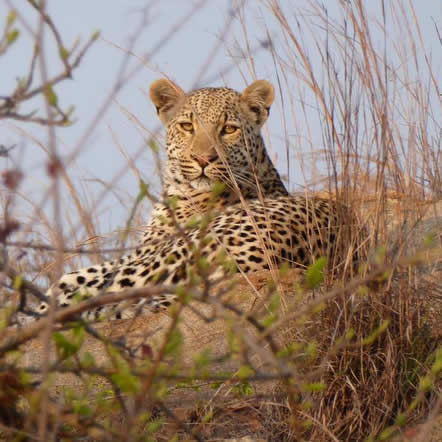 New Project: Kruger Conservation and Leopard Monitoring!