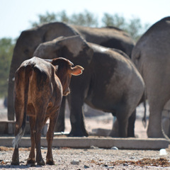 Namibia cow and elephants